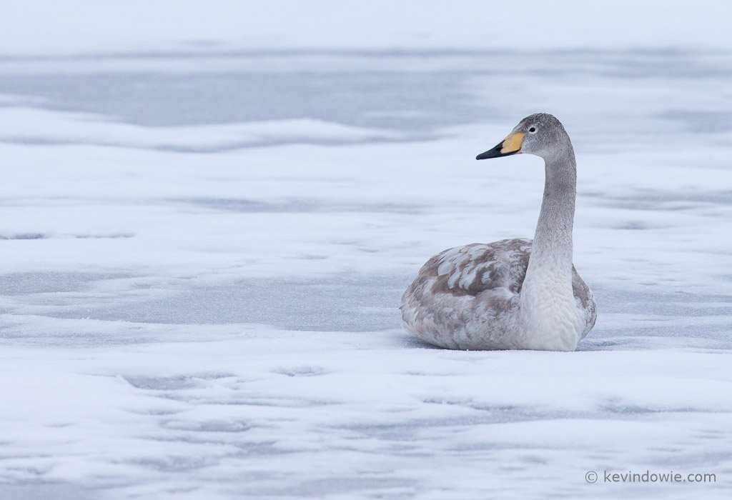 Juvenile Whooper Swan resting on ice, close crop