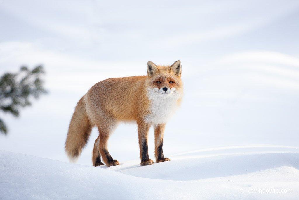 Japanese Red Fox, Hokkaido